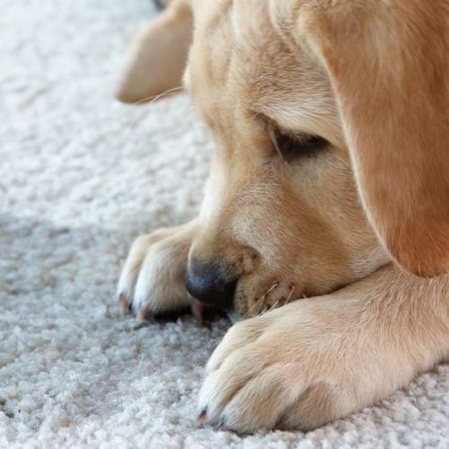 Pet-Stain-Rug-Doctor-500x500 How To Remove Stains